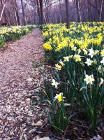 Daffodil Field at Parson's Reserve 2 by 1JesusOfSuburbia
