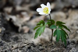 lone.Flower by Ave117