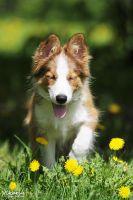 Sunny dog and dandelions by Vikarus