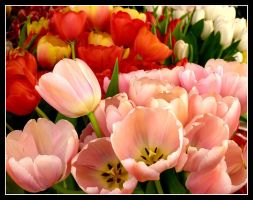 Pink and Red Tulips by kanes