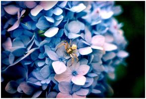 Spider, Hydrangea by mixtapes-of-love
