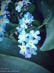 forget me not2 by ste-Liana