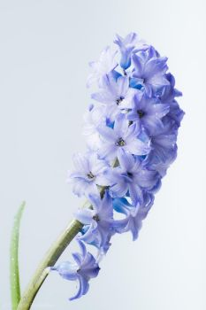 Hyacinth by DeborahBeeuwkes