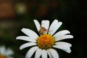 White flower 2 with spider. by TonistL