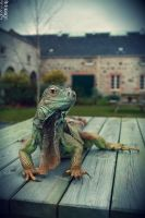 Harry The Iguana by smdesign-photography