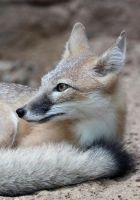 Swift Fox Portrait by Jack-13
