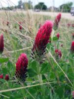 Red Clover by Neriah-stock