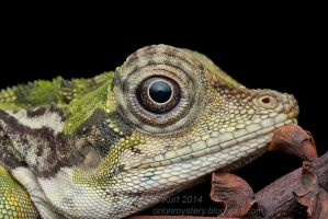 Gonocephalus grandis (IMG 3493 copy) by orionmystery