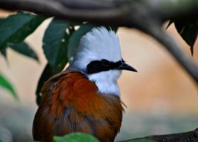 White Crested Laughing Thrush by Misty-Dawn