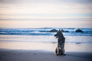 German Shepherd at Dusk by petrichore