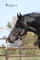 Friesian Head Shot Stock 1 by Thunderbolt-Designs