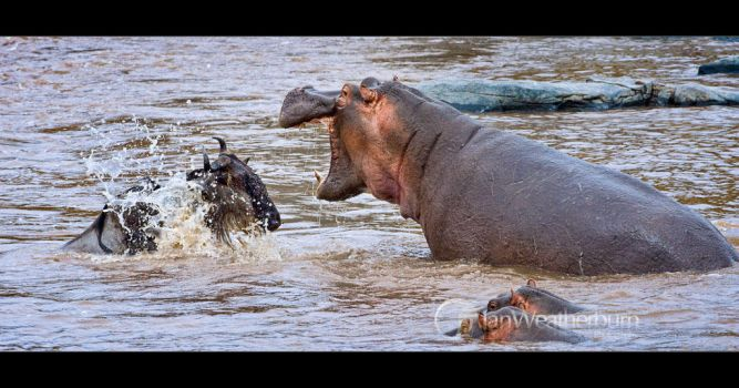 Wildebeest and Hippo by MrStickman