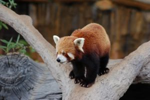Red Panda Stock by Chunga-Stock