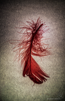 Red feather by shadows-around