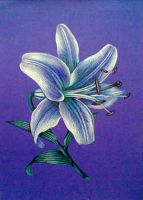 Purple lily by diana-0421