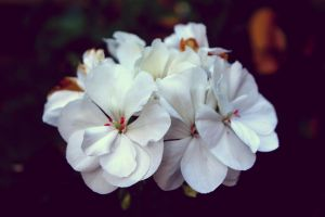 White flowers by tgilmore