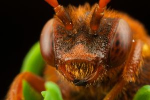 First Nomada Bee of 2010 - 2 by Alliec