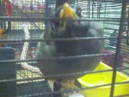 Mynah in a cage by Sabriel-chan