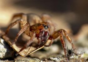 Trochosa Terricola - Adult Female by TheFunnySpider