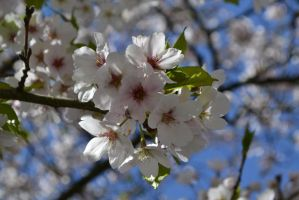blossom by Mirly85