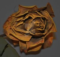 a dead rose by tazy01