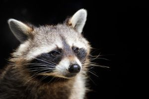 Racoon Portrait by Manu34