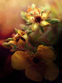 St. Peter's wort | NOVEMBER FLOWER 2011 collection by jeesica