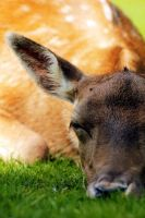 Napping Deer II by akrPhotography