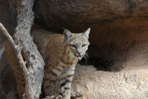 Bobcat on the hunt 1758 by mammothhunter