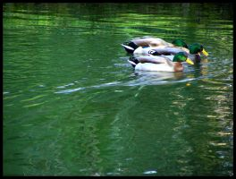 Duck race by nyc0