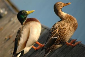 Two ducks by MB-Photo