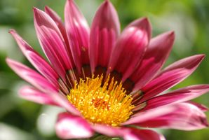 Pink Gazania 2 by Kstevensx