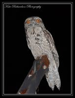 Tawny Frog mouth by Purple-Dragonfly-Art