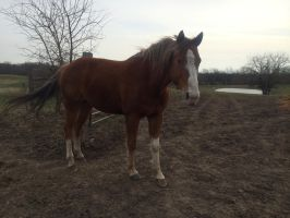 Chestnut Horse Stock 2 by CoutureEquineDesigns
