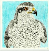 Goshawk by conradknightsocks