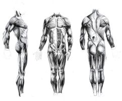 muscle body. by el-dalton