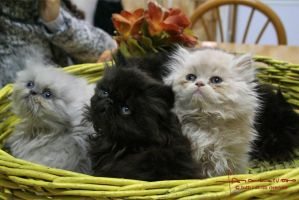 Basket of kittens by ForeignFrontierRanch