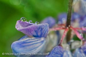 Lupine Drops by MSimpsonPhotos