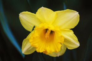 Daffodil 2 by Tyyourshoes