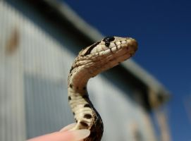 Baby Gopher Snake 03 by Treeclimber-Stock