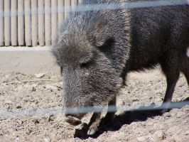 Gregory Peccary by sloegin