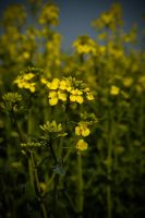 Rapeseed by SuiteDesign