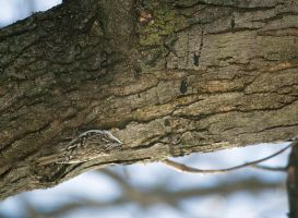 Brown Creeper by toshema
