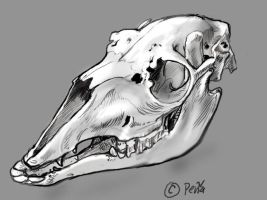 Llama skull sketch by Reptangle