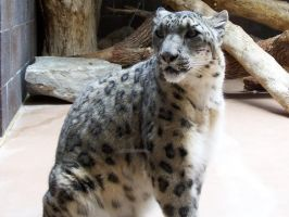 Snow Leopard by TheFinalLion