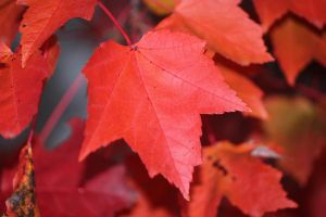 Vibrant red on Maple Leaf by Eternalfall1