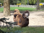 Camels at Cracow Zoological Garden by MrGorsh