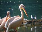 pink pelican by Nicky8
