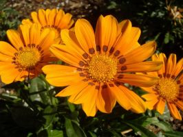 Orange Flowers 3 by richardxthripp