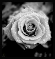 no time for roses III by Suicidalphotos